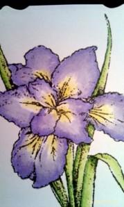 Flourishes Siberian Iris Spectrum Noir